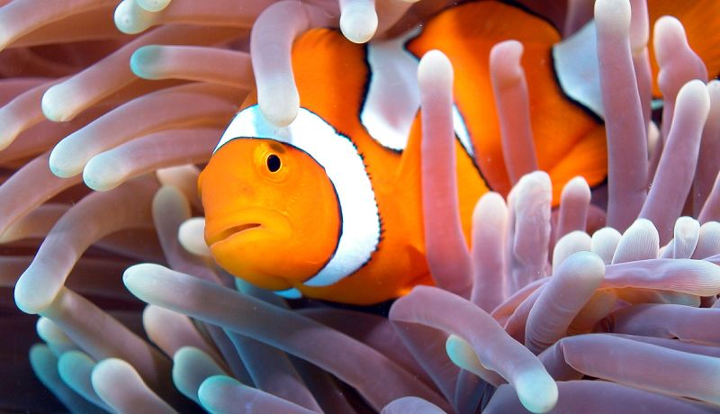 Great Barrier Reef Clown Fish  - Daintree Secrets Rainforest Sanctuary